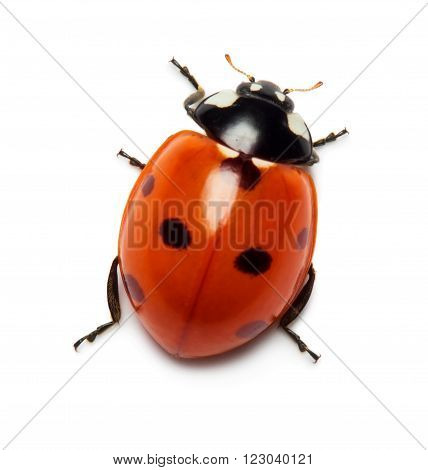 Close up view of ladybug isolated on white background