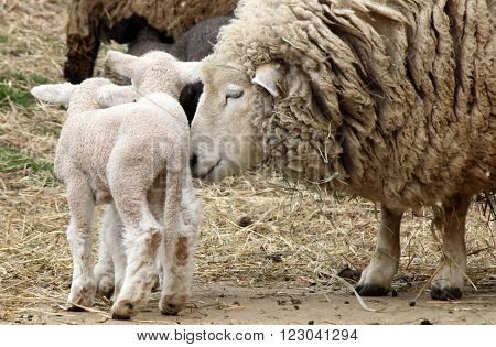 A mother sheep on a farm with her newborn twin lambs.