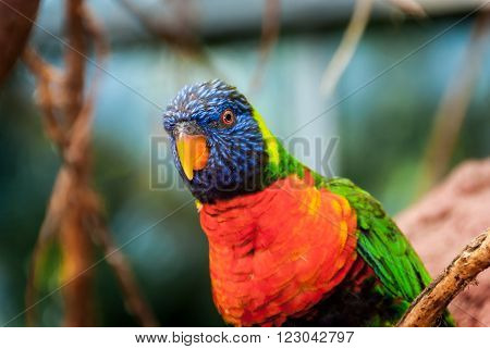 A funny looking Rainbow Lorikeet looking like a wise guy