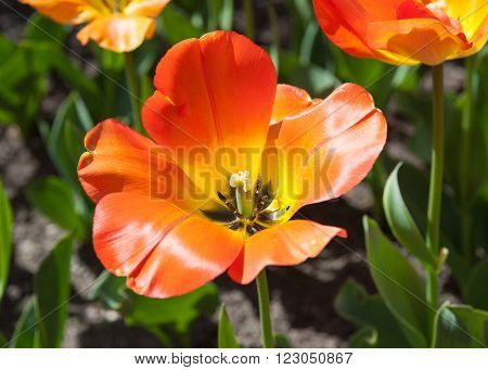 Beautiful orange tulip in the garden sort daydream