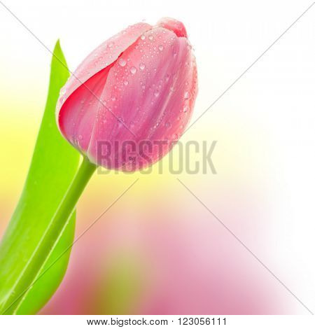 Fresh Big Tulip with waterdrops on colorful background, holiday