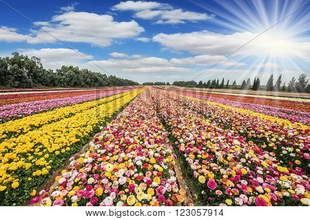 The sun's rays shine from cumulus clouds. Flower kibbutz near Gaza Strip. Spring flowering buttercups