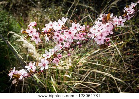 Cherry plum branch in bloom - Prunus cerasifera 'Pissardii' - 'Atropurpurea' - Prunus pissardii