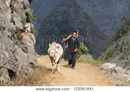HA GIANG, VIETNAM - FEB 7, 2014: Unidentified Hmong man holding a plough on his shoulders and walking behind his white buffalo on the side of a rocky mountain.