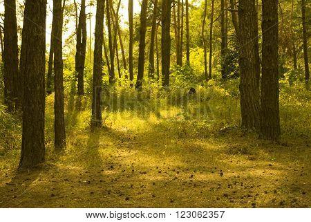 Sunlit pine forest (as a summer landscape)