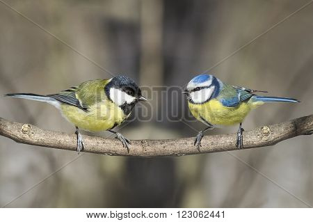 two birds great tit and blue tit on a branch in the Park