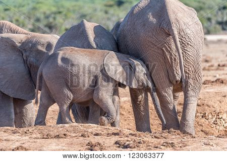 A young African Elephant calf Loxodonta africana trying to get the attention of its mother