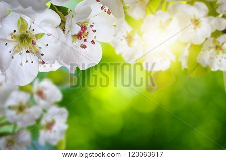 Blossoms over blurred nature background. Spring flowers.Spring background with green bokeh