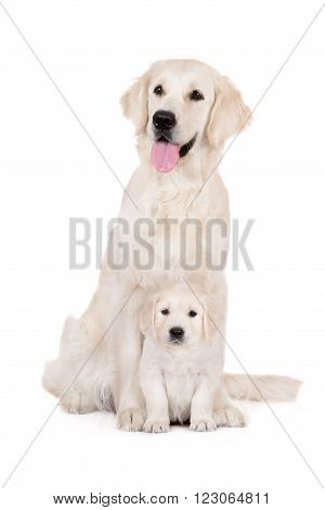 golden retriever dog with a puppy on white