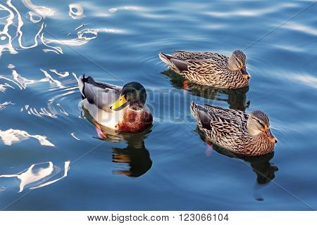 Three ducks in the family Anatidae one male and two females they swim in the waters of a lake.