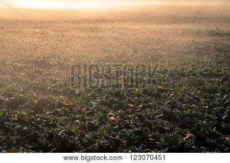 Young rape field in the morning sun - autumnal rape field