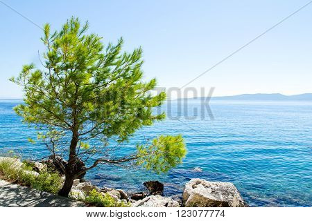 Pine on the promenade of Brela at Makarska Riviera,adriatic Sea,Dalmatia,Croatia