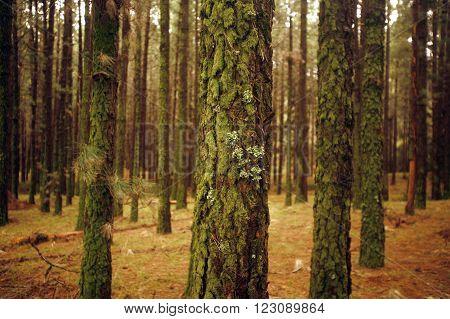 Europa, Spanien, Kanarische Inseln, Teneriffa, Wald, Holz