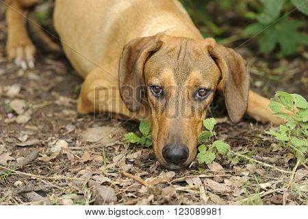 Dog nature is a closeup beautiful brown hound dog with his head down outdoors surrounded by nature.