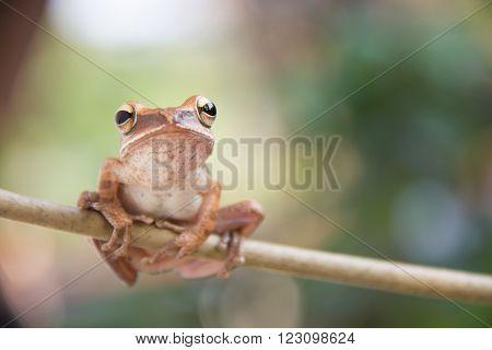 Golden Tree Frog  on green Blur background