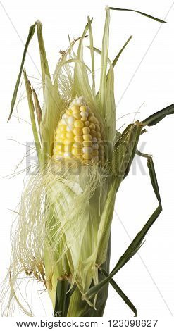 Corn husk being peeled isolated on white.