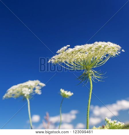 Queen Anne's Lace against a clear blue sky.