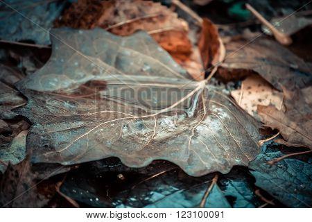 background Wet brown dry leaf poplar macro