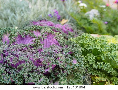 Ornamental Fringe Mix Kale Garden (Flower Kale)