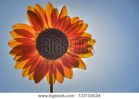 Bright orange and yellow Sunflower basking in the sun.