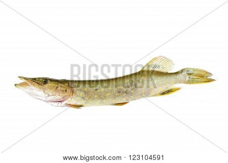 One fish pike isolated on white background