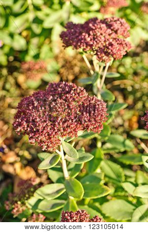 Blossom sedum stonecrop crassula . Floral background
