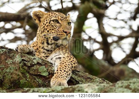 The leopard (Panthera pardus) in natural habitat