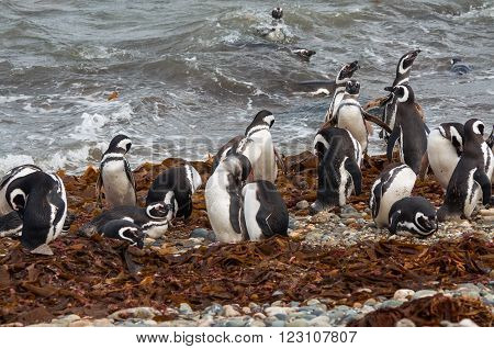 Magellanic Penguins (Spheniscus magellanicus) at the coast of Seno Otway, Chile