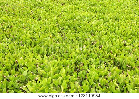 hyacinth leaves in swamp as green background.