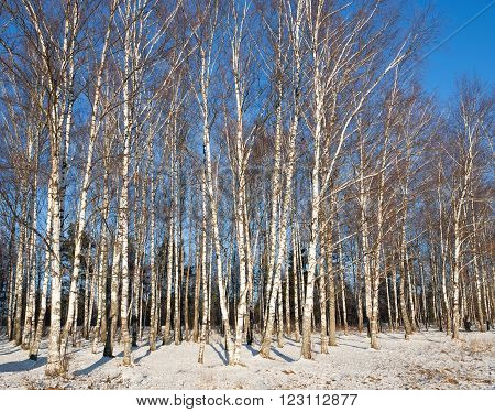 Birchwood in the winter sunny day on a background of blue sky