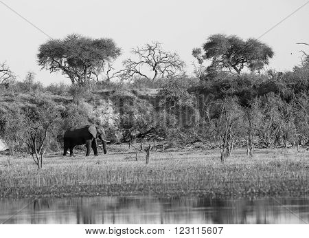 A large African elephant walking on the banks of the Boteti river in Xhumaga Botswana. Many of the trees dry evident of hard times in the past. In black and white.