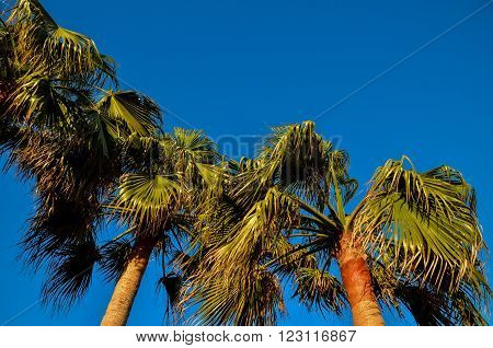 Tropical Canarian Green Palm Leaf Background in Summer