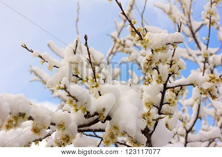flowering branches of a plum tree covered with snow. selective focus shallow depth of field. soft focus