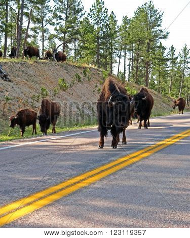 American Bison Buffalo herd on the road again in Custer State Park in the Black Hills of South Dakota USA