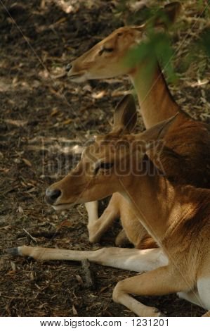 White Tail Deer Resting