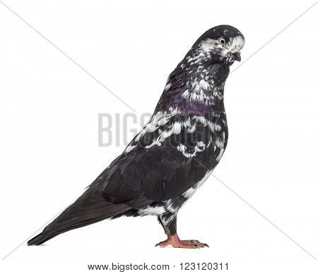 Black Show Tippler Pigeon isolated on white