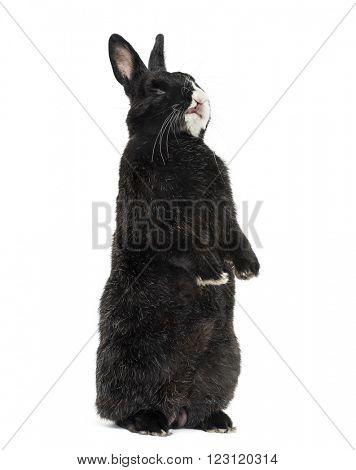Black Rabbit on his hind legs sticking his tongue out, isolated on white
