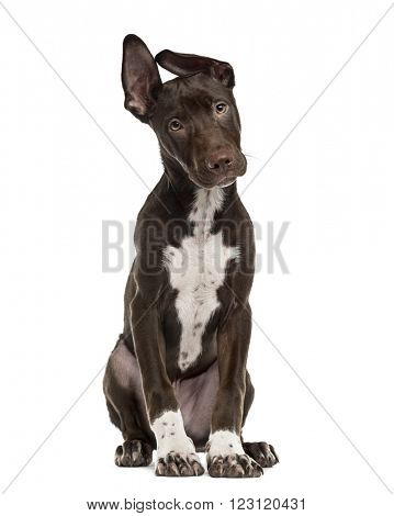 Crossbreed dog puppy sitting and looking at the camera, isolated on white