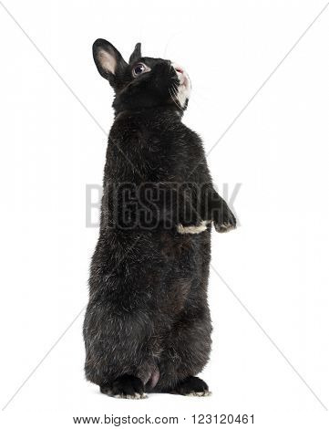 Black Rabbit on his hind legs, isolated on white