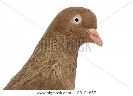 Close up of a Tumbler belgium pigeon isolated on white
