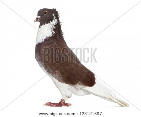 Red Belgian Ringslager pigeon isolated on white