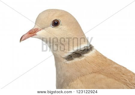 Close up of a African Collared dove isolated on white