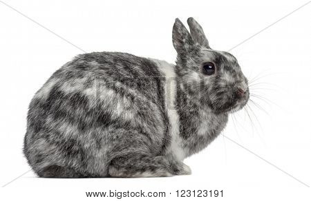 Lop rh�¶n Rabbit isolated on white