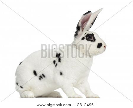 Rex Dalmatian Rabbit isolated on white