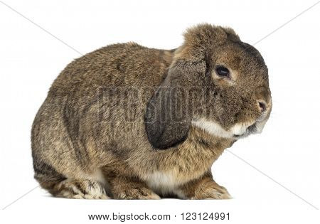 German Rabbit Ram isolated on white