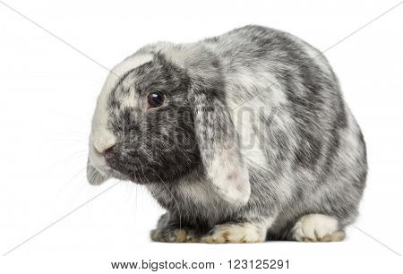 Ram Rh�¶n Rabbit isolated on white
