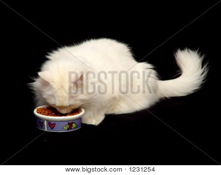 White Angora Cat Eating Food
