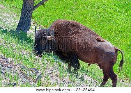 American Bison Buffalo Bull grazing on a hill in Yellowstone National Park in United States