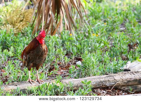 Free-roaming rooster as typically seen in Key West, Florida, USA
