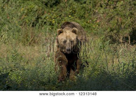 brown bear ( Ursus arctos ) looking for food